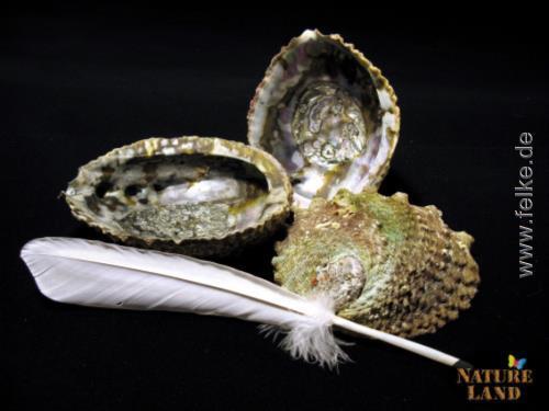 abalone muschel mit wei er g nsefeder natureland. Black Bedroom Furniture Sets. Home Design Ideas